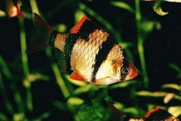 Barbus tetrazona(Tiger Barb)