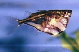 Carnegiella strigata strigata(Marbled Hatchet Fish)