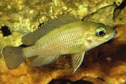 Neolamprologus toae