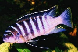 "Pseudotropheus spec. zebra ""Chilumba""(""Yellow Throat Zebra"")"