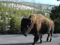 "<div><font size=""1"">Bizon si vykračuje po silnici hned vedle aut.</font></div>
