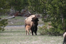 "<div><font size=""1"">Bizoní samice s mládětem.</font></div>