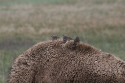 "<div><font size=""1"">Jeden bizon měl na zádech ""ptačí hnízdo"".</font></div>