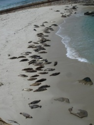 Tuleni si užívali na pláži.<br />___________<br />The seals were having fun on the beach.