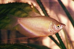 Trichogaster microlepis(moonlight gourami)