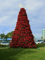 https://upload.wikimedia.org/wikipedia/commons/f/fa/Poinsettia_tree.jpg