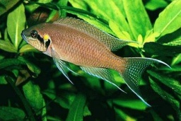 Neolamprologus brichardi(Princess of Burundi)