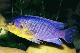 "Petrotilapia spec. ""Yellow chin"""