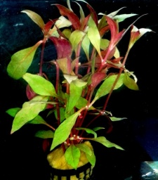 Alternanthera splendida