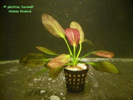 Echinodorus cv. Beauty red