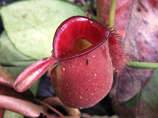 Nepenthes ampullaria (red)