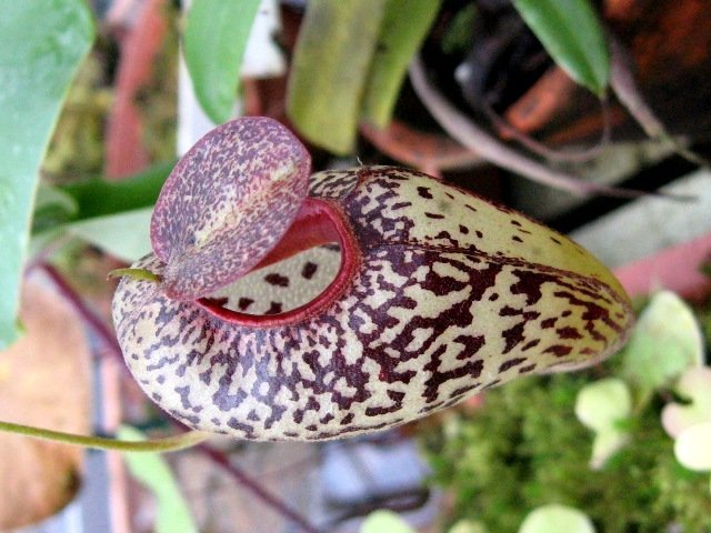 Nepenthes aristolochioides